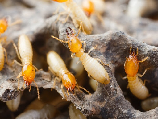 termite removal services
