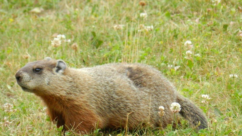 Whistle Pig Animal